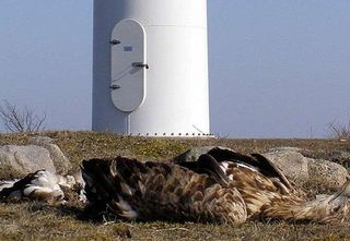 Dead_eagle_at_base_of_turbine-500__500x345